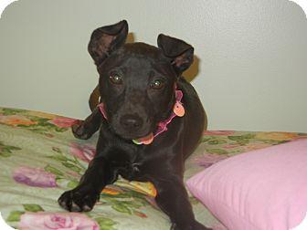Terrier (Unknown Type, Medium)/Boxer Mix Puppy for adoption in Hartford, Connecticut - Gigi