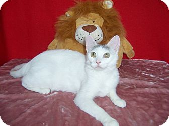 Turkish Van Cat for adoption in Taylor Mill, Kentucky - Bernise-DECLAWED