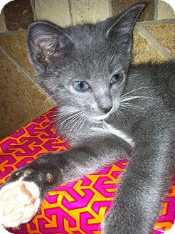 Russian Blue Kitten for adoption in Atlanta, Georgia - Desmond