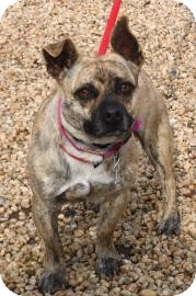 Chihuahua Mix Dog for adoption in Philadelphia, Pennsylvania - Tiger