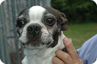Boston Terrier Dog for adoption in Crump, Tennessee - Bugsy