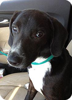 Labrador Retriever/Hound (Unknown Type) Mix Puppy for adoption in Gainesville, Florida - Lucy