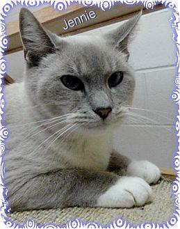 Siamese Cat for adoption in Ozark, Alabama - Jeannie