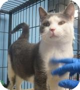 Domestic Shorthair Cat for adoption in Lincolnton, North Carolina - Asap