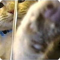 Adopt A Pet :: Kitties - Harbor City, CA