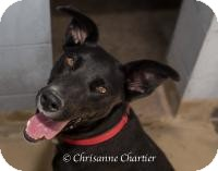 Australian Shepherd/Labrador Retriever Mix Dog for adoption in Sierra Vista, Arizona - Dyna