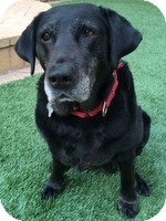 Labrador Retriever Mix Dog for adoption in Torrance, California - Miss Penelope
