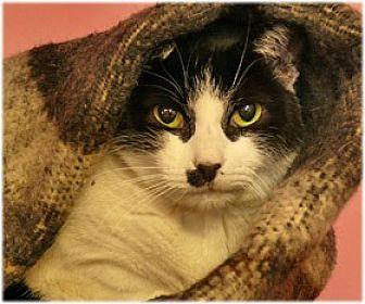 Domestic Shorthair Cat for adoption in Milford, Massachusetts - Beauty