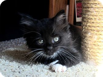 Domestic Mediumhair Kitten for adoption in Arlington, Virginia - Nora