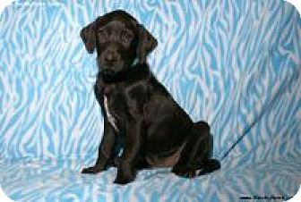 Labrador Retriever/Dalmatian Mix Puppy for adoption in Newcastle, Oklahoma - Fiyero