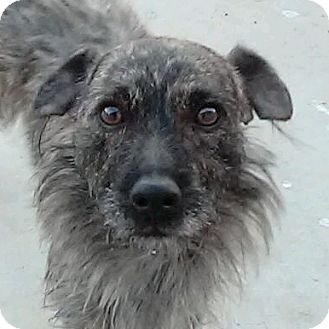 Terrier (Unknown Type, Small) Mix Dog for adoption in Las Vegas, Nevada - Fifo