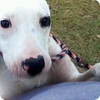 Adopt A Pet :: Symphony - Houston, TX