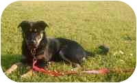 German Shepherd Dog/Border Collie Mix Puppy for adoption in Dripping Springs, Texas - Chloe