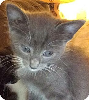 Domestic Shorthair Kitten for adoption in Fountain Hills, Arizona - KOSMO