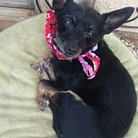 Cairn Terrier/Terrier (Unknown Type, Small) Mix Dog for adoption in Aqua Dulce, California - Andy