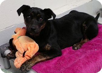 Labrador Retriever Mix Puppy for adoption in Burgaw, North Carolina - Chloe