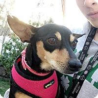 Adopt A Pet :: Cindy - Brick, NJ