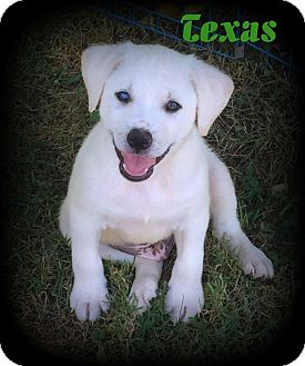 Retriever (Unknown Type) Mix Puppy for adoption in Denver, North Carolina - Texas