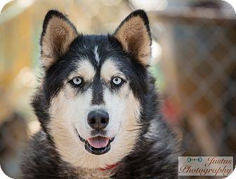Siberian Husky Dog for adoption in Cedar Crest, New Mexico - Joy