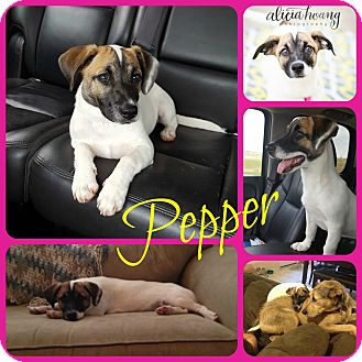 Jack Russell Terrier Mix Puppy for adoption in Ft Worth, Texas - Pepper