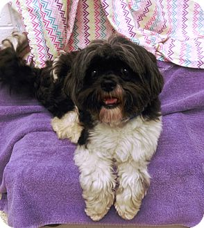 Shih Tzu Mix Dog for adoption in University Park, Illinois - Jeremiah