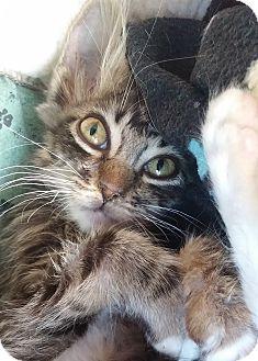 Maine Coon Kitten for adoption in Yorba Linda, California - Precisous