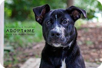 Labrador Retriever Mix Dog for adoption in Edwardsville, Illinois - Selma