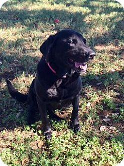 Labrador Retriever Mix Dog for adoption in Vancouver, British Columbia - Felicity