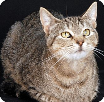 Domestic Shorthair Cat for adoption in Newland, North Carolina - Pandora