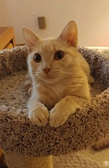 Domestic Shorthair Cat for adoption in Highland, Indiana - Madeline (Maddy)