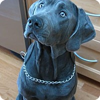 Adopt A Pet :: Blue - San Francisco, CA
