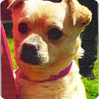 Chihuahua/Pug Mix Dog for adoption in Chico, California - Oso