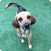 Adopt A Pet :: Yogi - Toronto, ON