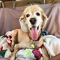 Adopt A Pet :: Cody - Flushing, NY