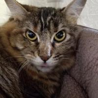 Maine Coon/Domestic Shorthair Mix Cat for adoption in Prineville, Oregon - Aesha