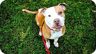 American Pit Bull Terrier Mix Dog for adoption in Mt. Pleasant, Michigan - Scooby