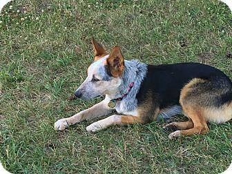 Australian Cattle Dog Dog for adoption in Harbor Springs, Michigan - Bandit