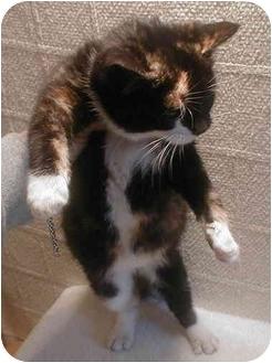 Domestic Shorthair Kitten for adoption in Roosevelt, New Jersey - Rosey