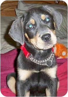 Rottweiler/Weimaraner Mix Puppy for adoption in Sandston, Virginia - Brusier