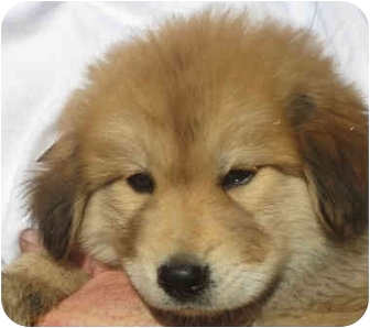 Chow Chow/Golden Retriever Mix Puppy for adoption in Poway, California - Chucky