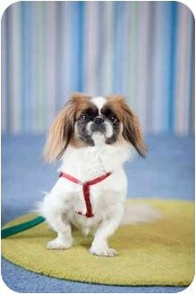 Pekingese Dog for adoption in Portland, Oregon - Lola