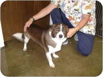 Pembroke Welsh Corgi Mix Dog for adoption in Inola, Oklahoma - Dimaggio