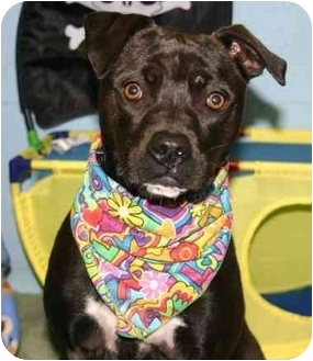 Manchester Terrier/American Pit Bull Terrier Mix Dog for adoption in Auburn, California - Rumba