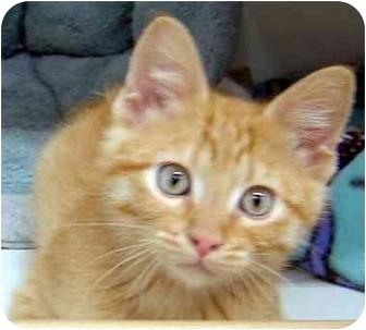 Domestic Shorthair Kitten for adoption in Overland Park, Kansas - Ozzie