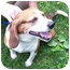 Photo 2 - Beagle Dog for adoption in Campbellsville, Kentucky - Gabby