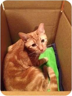 Domestic Shorthair Cat for adoption in Brea, California - LEO