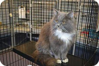 Domestic Mediumhair Cat for adoption in Edwardsville, Illinois - Georgia
