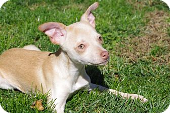 Chihuahua Mix Puppy for adoption in Elyria, Ohio - Pablo