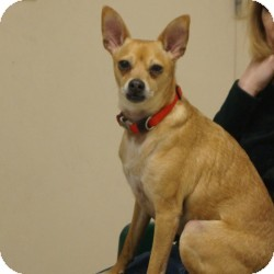 Chihuahua/Italian Greyhound Mix Dog for adoption in Eatontown, New Jersey - Rudi