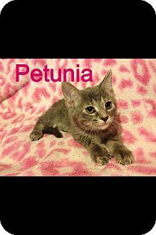 Domestic Shorthair Kitten for adoption in St. Louis, Missouri - Petunia